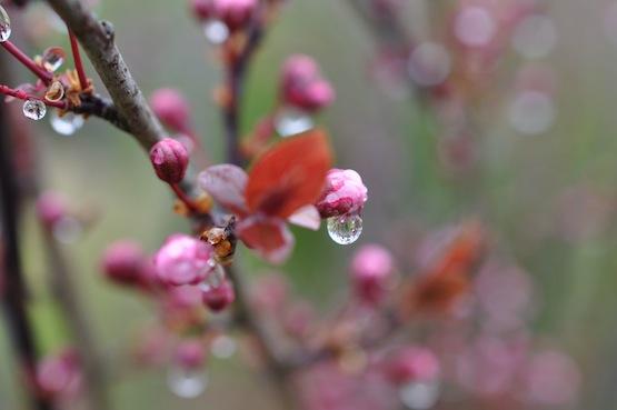 Gartenblog | Wild Gardening | Prunus cerasifera | Garten Blog über einen Garten in der Heide