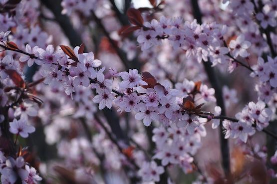 Gartenblog | Wild Gardening | Prunus | Garten Blog über einen Garten in der Heide