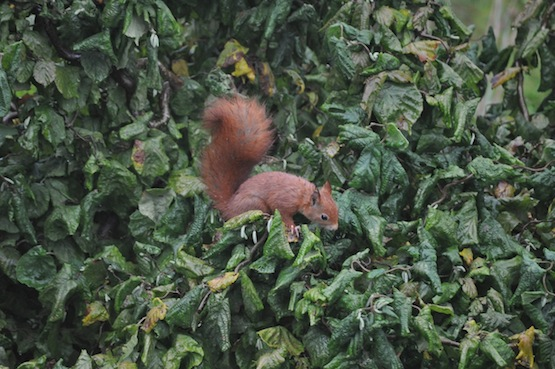 Gartenblog | Wild Gardening | Eichhörnchen | Garten Blog über einen Garten in der Heide