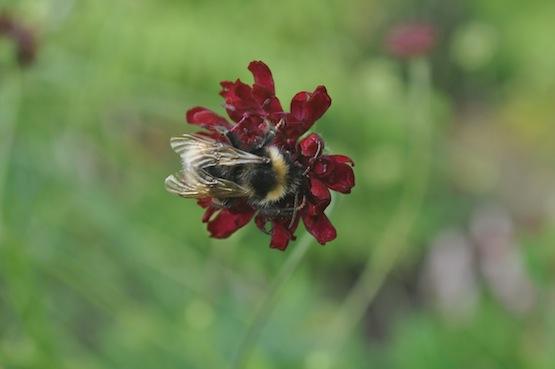 Gartenblog | Wild Gardening | Knautia| Garten Blog über einen Garten in der Heide