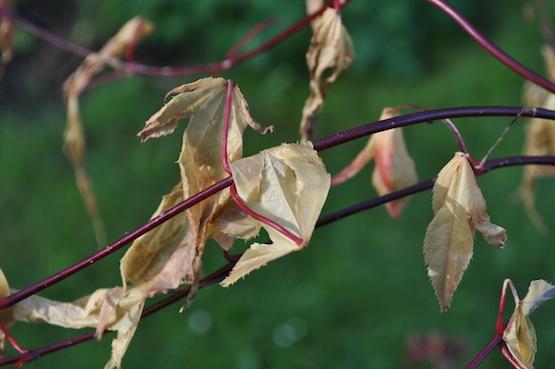 Gartenblog   Wild Gardening  Acer palmatum   Garten Blog über einen Garten in der Heide