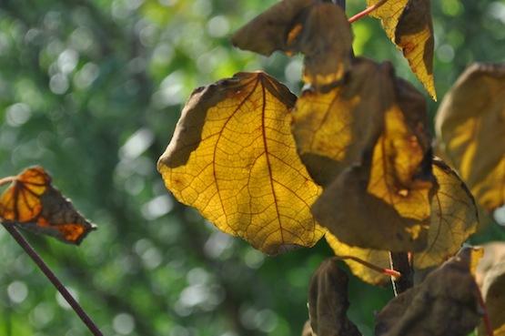 Gartenblog   Wild Gardening   Cercidiphyllum japonicum   Garten Blog über einen Garten in der Heide