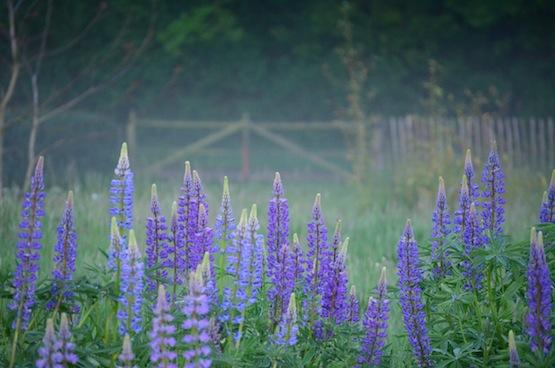 Gartenblog | Wild Gardening | Lupinen | Garten Blog über einen Garten in der Heide