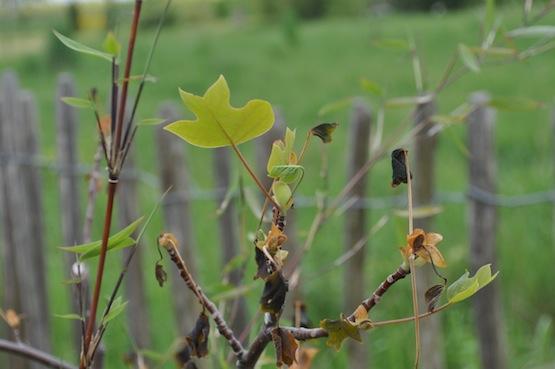 Gartenblog   Wild Gardening   Liriodendron tulipifera   Garten Blog über einen Garten in der Heide
