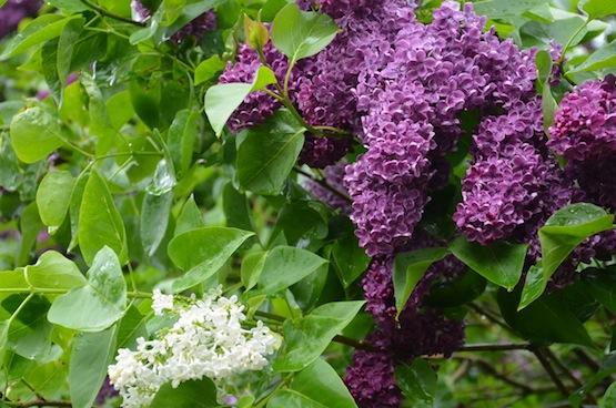 Gartenblog   Wild Gardening   Flieder   Garten Blog über einen Garten in der Heide