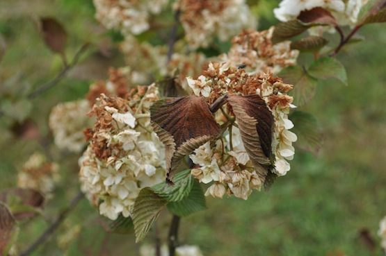 Gartenblog   Wild Gardening   Viburnum plicatum   Garten Blog über einen Garten in der Heide