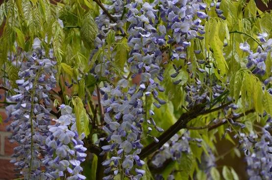 Gartenblog   Wild Gardening   Blauregen   Garten Blog über einen Garten in der Heide