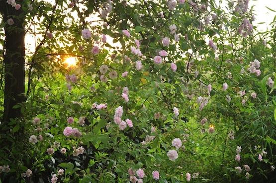 Gartenblog | Wild Gardening | Paul's Himalayan Musk| Garten Blog über einen Garten in der Heide