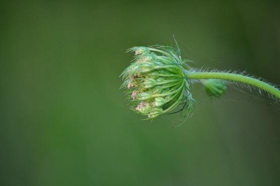 Gartenblog | Wild Gardening | Wilde Möhre| Garten Blog über einen Garten in der Heide