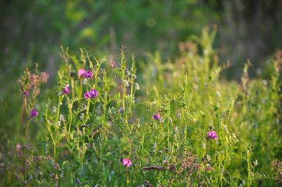 Gartenblog | Wild Gardening | Futterwicken| Garten Blog über einen Garten in der Heide