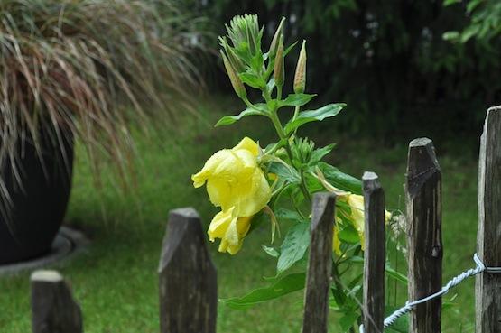 Gartenblog | Wild Gardening | Oenothera biennis | Garten Blog über einen Garten in der Heide