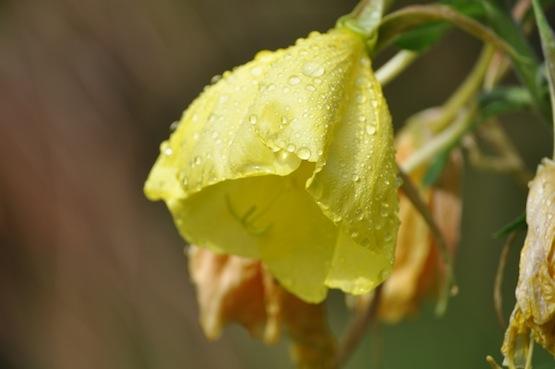 Gartenblog | Wild Gardening | Oenothera biennis| Garten Blog über einen Garten in der Heide