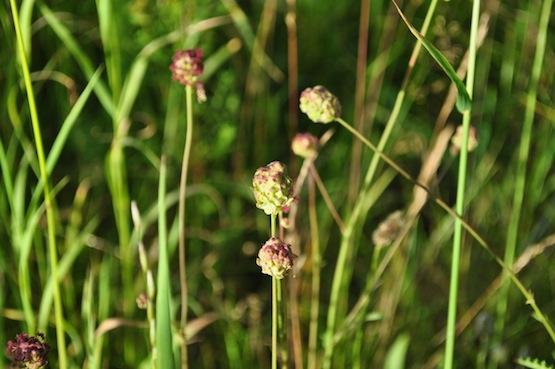 Gartenblog | Wild Gardening | Sanguisorba minor| Garten Blog über einen Garten in der Heide