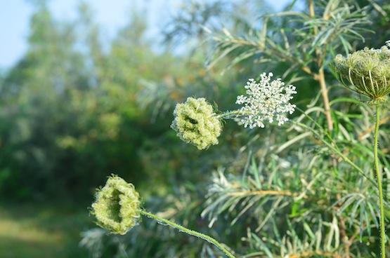 Gartenblog | Wild Gardening | Daucus carota | Garten Blog über einen Garten in der Heide