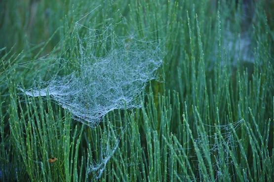 Gartenblog | Wild Gardening | Spinnennetz in Cytisus beanii | Garten Blog über einen Garten in der Heide
