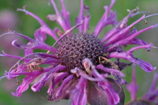 Gartenblog | Wild Gardening | Monarda 'Pummel'| Garten Blog über einen Garten in der Heide
