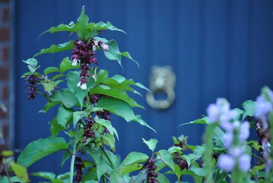 Gartenblog | Wild Gardening | Leycesteria formosa | Garten Blog über einen Garten in der Heide