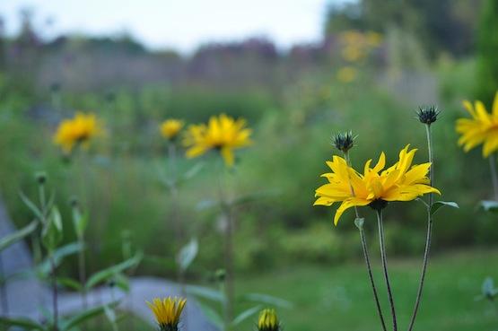 Gartenblog | Wild Gardening | Helianthus| Garten Blog über einen Garten in der Heide