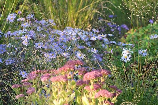 Gartenblog | Wild Gardening | Aster pyreneus 'Lutetia'| Garten Blog über einen Garten in der Heide