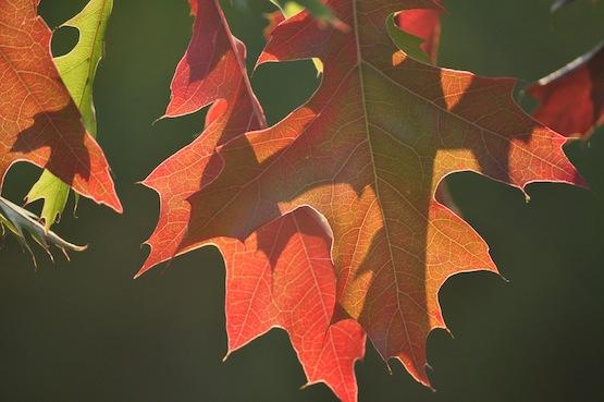 Gartenblog | Wild Gardening | Quercus palustris | Garten Blog über einen Garten in der Heide