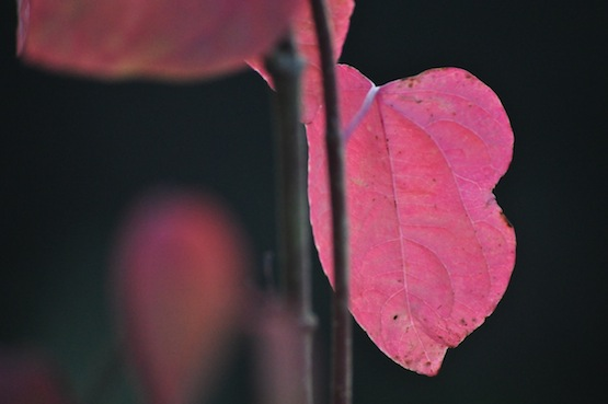 Gartenblog | Wild Gardening | Cercidiphyllum japonicum | Garten Blog über einen Garten in der Heide