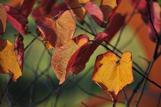 Gartenblog | Wild Gardening | Cercis canadensis 'Forest Pansy' | Garten Blog über einen Garten in der Heide