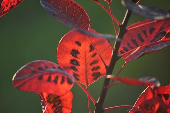 Gartenblog | Wild Gardening | Cotinus coggygria 'Royal Purple'| Garten Blog über einen Garten in der Heide