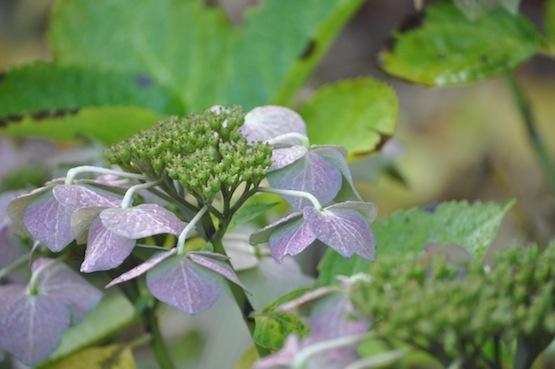 Gartenblog | Wild Gardening | Hydrangea| Garten Blog über einen Garten in der Heide