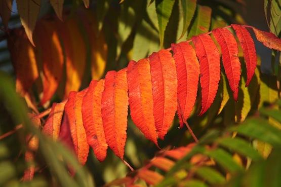 Gartenblog | Wild Gardening |Rhus typhina | Garten Blog über einen Garten in der Heide