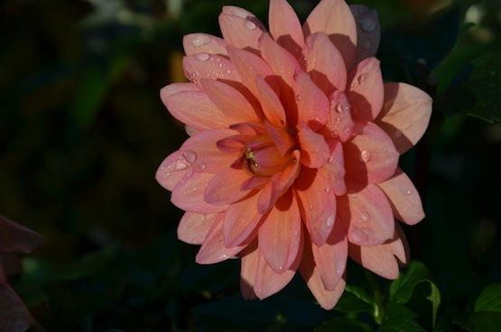 Gartenblog   Wild Gardening   Dahlia   Garten Blog über einen Garten in der Heide