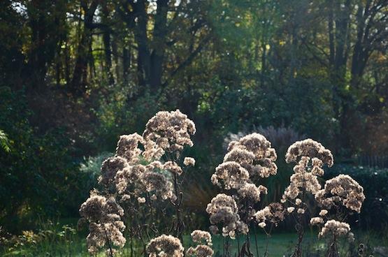 Gartenblog   Wild Gardening   Eupatorium fistulosum 'Riesenschirm'  Garten Blog über einen Garten in der Heide