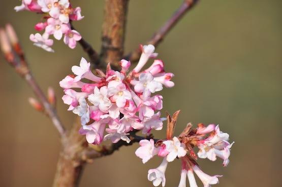 Gartenblog | Wild Gardening | Ein Garten in der Heide | Virburnum bodnantense 'Dawn'