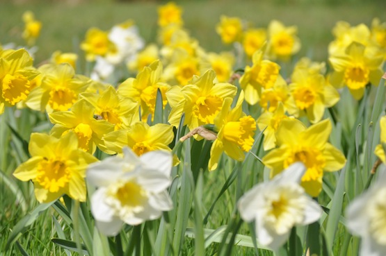 Wild Gardening | Gartenblog | Narcissenfeld
