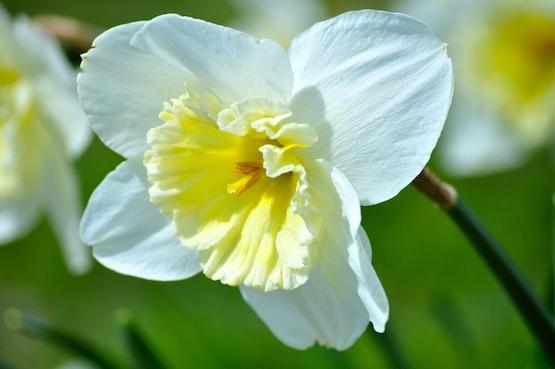 Wild Gardening | Gartenblog | Narcissus 'Ice Follis'