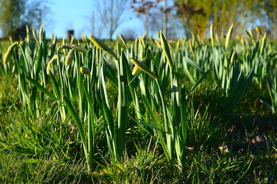 Gartenblog | Narzissen  | Wild Gardening