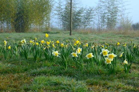 Wild Gardening | Gartenblog | Ein Garten in der Heide | Narzissenfeld