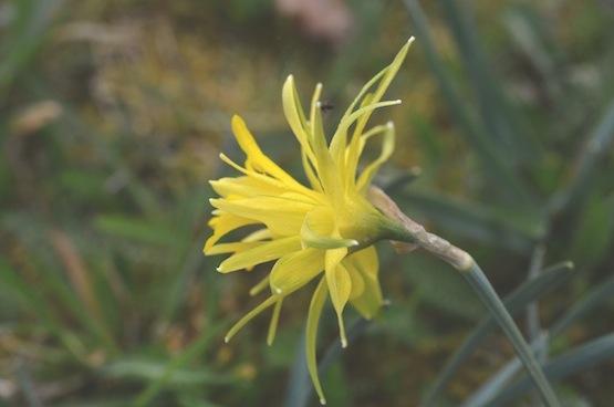 Wild Gardening | Garten Blog | Narcissus 'Rip van Winkle'