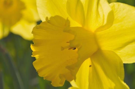 Wild Gardening | Gartenblog | Narcissus 'Carlton'