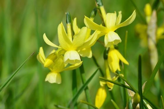 Gartenblog | Wild Gardening | Narcissus triandrus Hawera