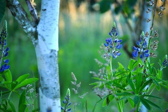 Wild Gardening | Gartenblog | Birken und Lupinen
