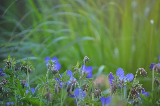 Wild Gardening | Gartenblog | Geranium