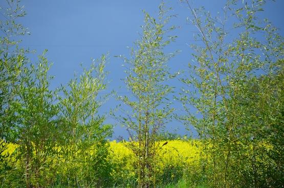Wild Gardening | Gartenblog | Phyllostachys propinqua