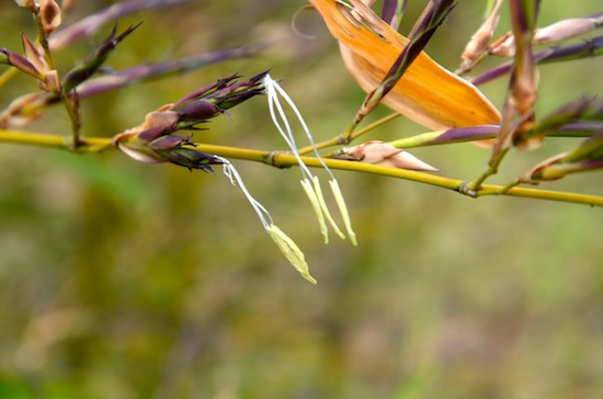 Wild Gardening | Gartenblog | Bambusblüte