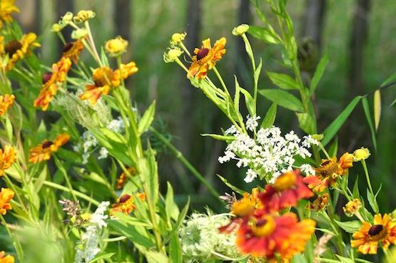 Wild Gardening | Gartenblog | Daucus carota