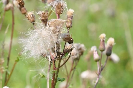 Wild Gardening | Gartenblog | Samen Ackerkratzdistel