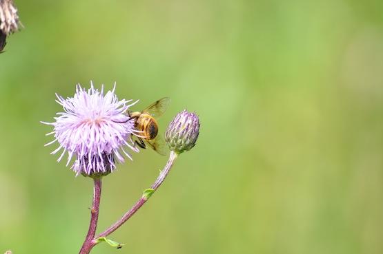 Wild Gardening | Gatenblog | Ackerkratzdistel