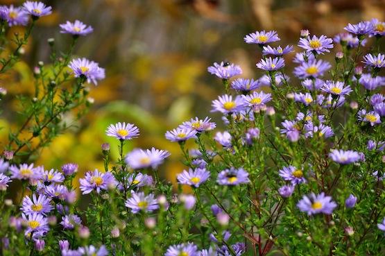 Wild Gardening | Ein Garten in der Heide | Gartenblog | Aster