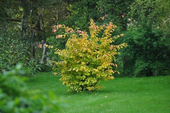 Wild Gardening | Ein Garten in der Heide | Gartenblog | Persisches Eisenholz