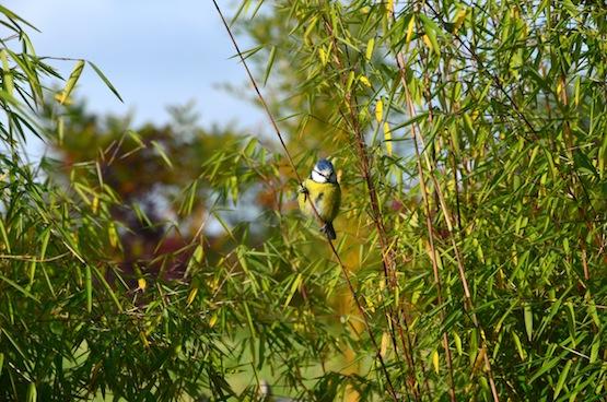 Wild Gardening | Ein Garten in der Heide | Gartenblog | Kohlmeise in Bambus