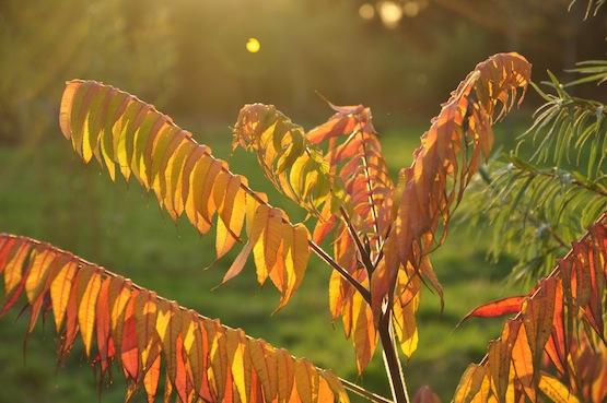Wild Gardening | Gartenblog | Rhus typhina